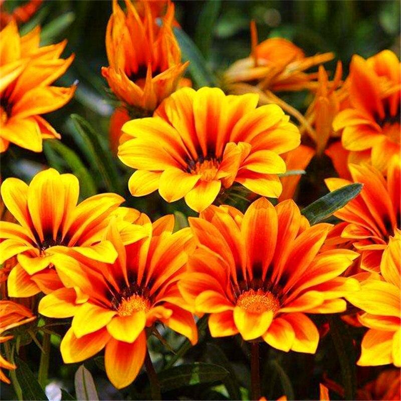 Plant Flowers Bath Salts Gazania Essence 100Pcs XZZ-118