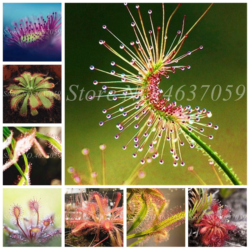 Bonsai Sundew Plant Mixed Enchantress Carnivorous Plants Pot Drosera Peltata Balcony Potted Radiation Protection 100 Pcs / Bag