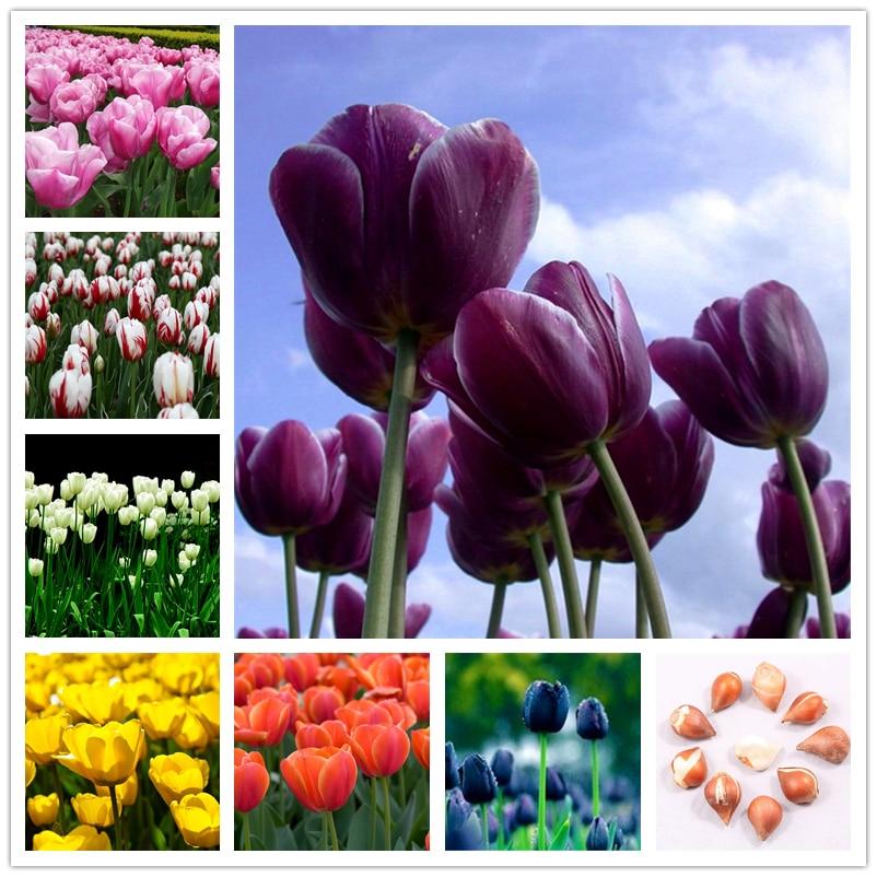 2Pcs Perfume Tulips Seeds Bonsai Garden Flower Nature Plants Home Fragrant Colorful Dutch Tulip Essence Lip Mask Y6