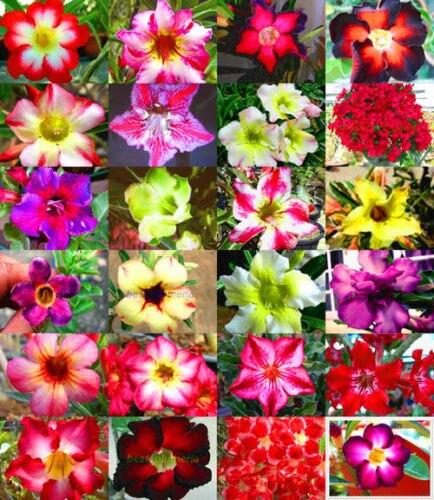 5pcs Adenium Obesum - Desert Rose Flower SS
