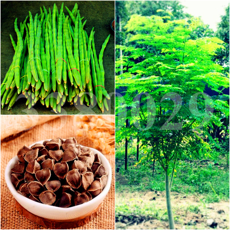 10pcs Moringa Tree Potted