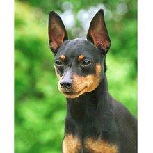 Pdmdog 5d животное миниатюрный пиншер собака Алмазная картина