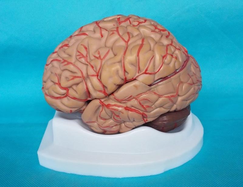 Human Brain Model 8pcs Cerebrovascular Assembled Model Brain Anatomy Model Medical Science Teaching Models Educational Supplies