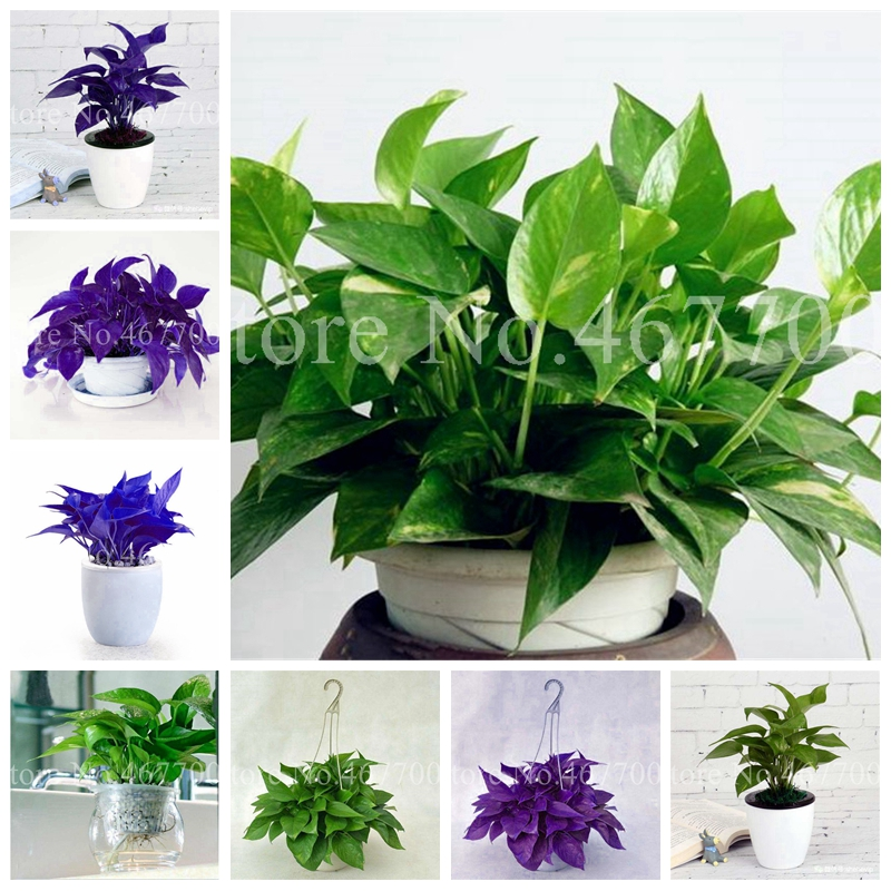 Exotic Climbing Epipremnum Aureum Bonsai,Indoor Office Desk Aquatic Plants Purify Air Absorb Harmful Gases Living Room 100 Pcs
