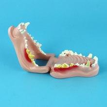 개 치아 치과 병리학 모델 개 구강 모델 동물 해부학 교육 데모 모델