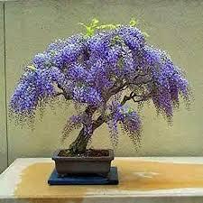 10 Pieces 7dwarf Jacaranda Japanese Tree Free Shipping