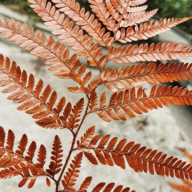 Dried Fern Leaf Real Preserved Flower Fern Leaf\uff0cFlowers with material,Party decoration,