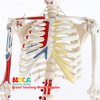 85cm Human Skeletal Muscle Ending Points with Numbers Identification Model Medicine Teaching Medicine Mgg207