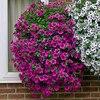 Garden Petunia A15