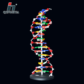 60cm DNA Structure Model Base Pair Genetic Gene DNA Dna Double Helix Models Biology Teaching Educational Equipment Supplies