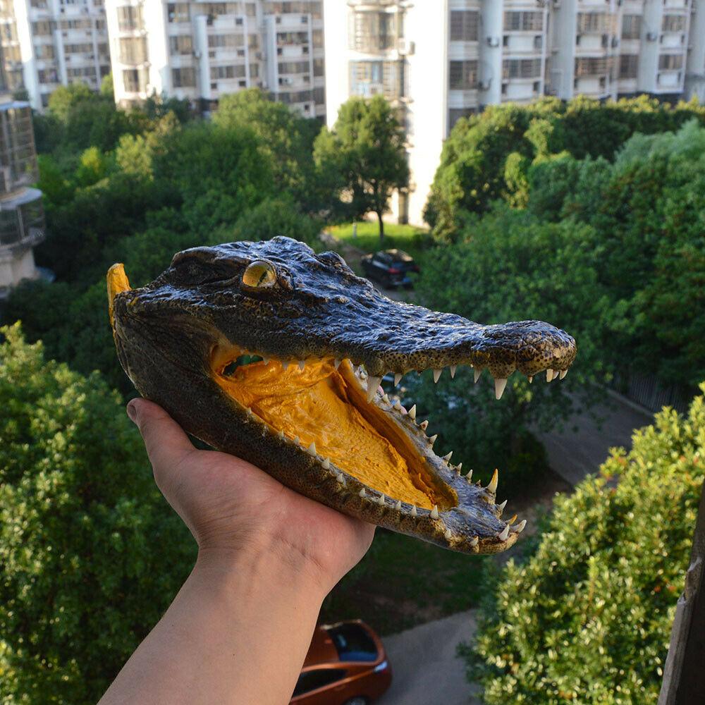 1 pces genuíno crocodylus siamensis siamese crocodilo crânio taxidermia 25-27 cm comprimento animal crânio espécime