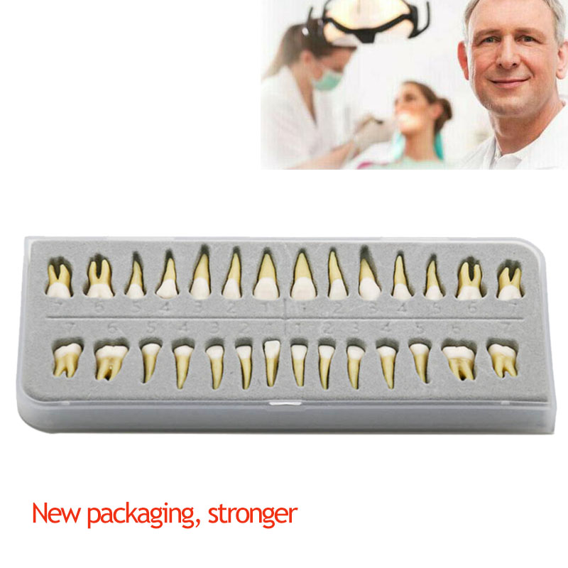 Teeth Model #7021 28 Pcs/Set Dental Teach Study 1:1 Permanent Demonstration