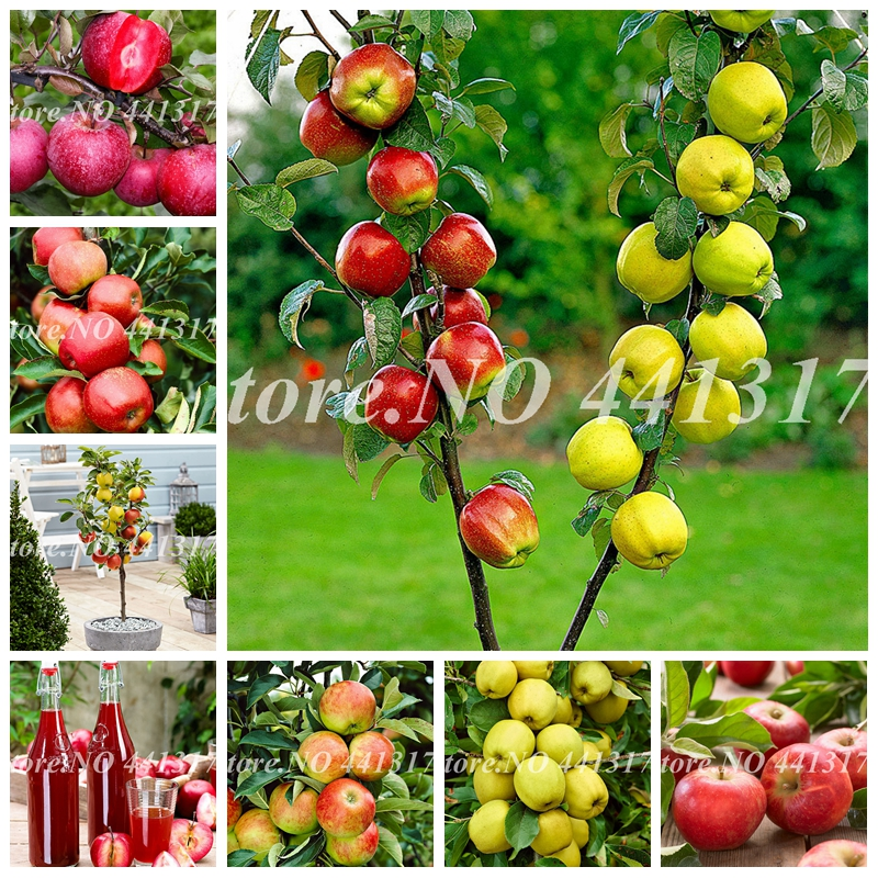 30 Pcs Sweet Apple Bonsai Fruit Tree Organic Delicious Four Season Sowing Rare Green Fruit Potted Plants Healthy Garden Flower