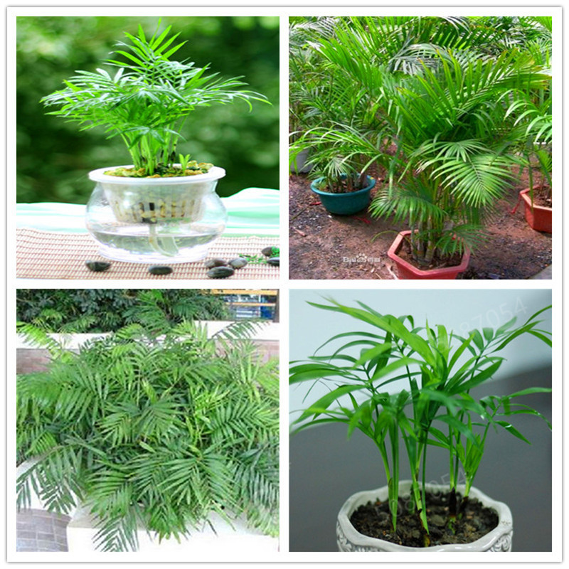 10 Pcs / Bag Chamaedorea Elegans Bonsai Potted Parlour Palm Bonsai Indoor Outdoor Home Ggarden Bonsai Plants Planting Is Simple