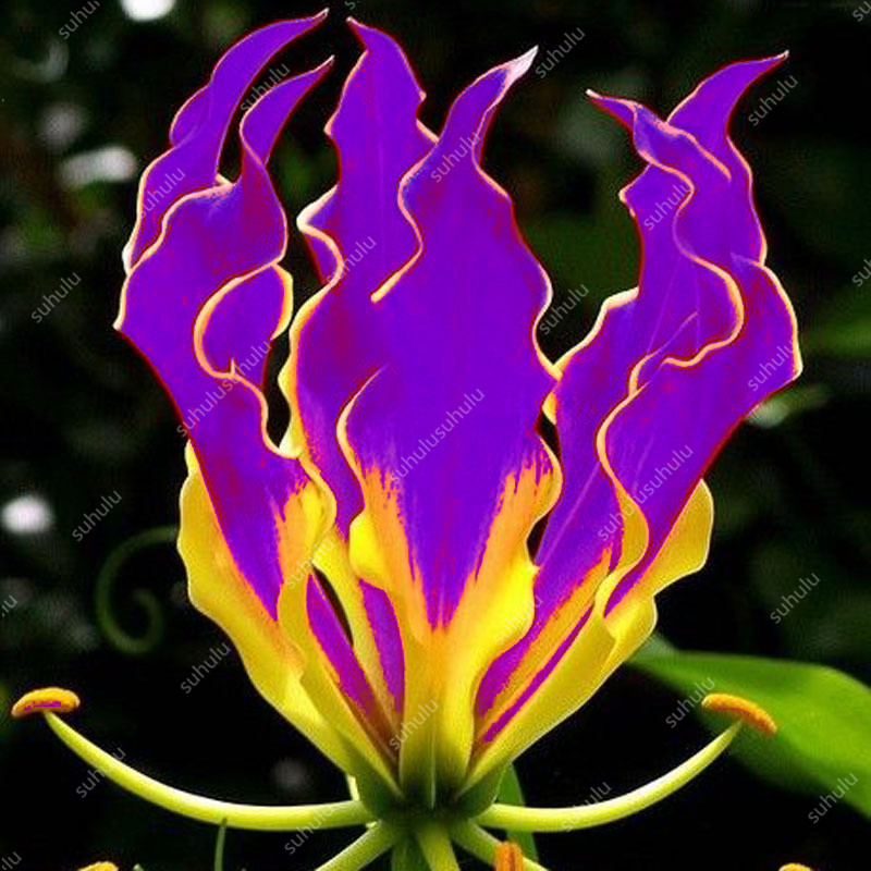 Sale! 100 Pcs Rare Flame Lily Bonsai, Not Lily Bulbs Cheap Perfume Lilies Plant For Garden And Home Mixing Different Varieties