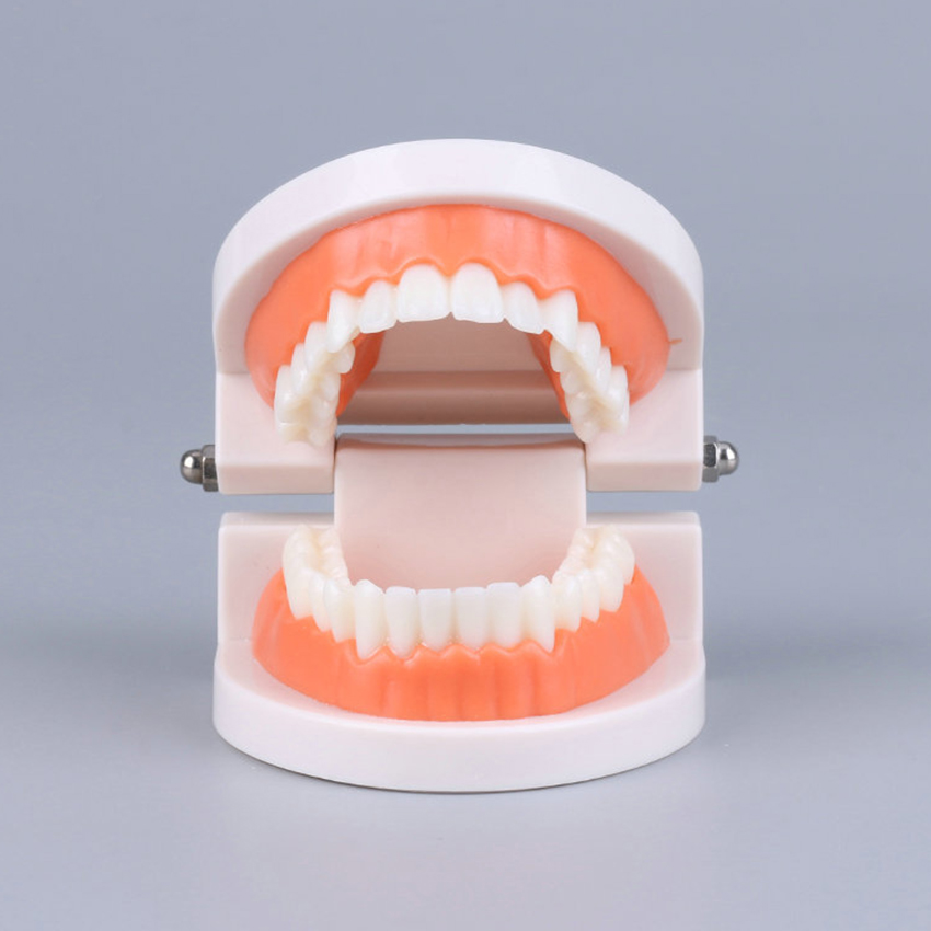 Tooth Model Dental Oral Practice Training Tooth Module Kindergarten Kids Tooth Brushing Teaching Model Ornaments Decoration