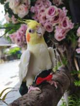 Подгузник в виде попугаев подгузник для птиц многоразовый подарок