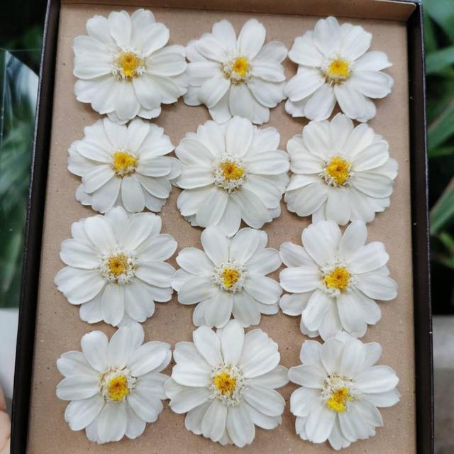 3-4cm/12 pièces, Grade A préservé tête de fleur de ZINNIA, marguerite éternelle pour la décoration de noce cadre photo pince à cheveux accessoires