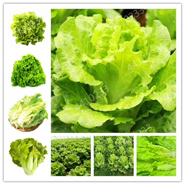 300 Pcs Bonsai Lettuce Good Taste Easy To Grow Great Salad Dhoice DIY Home Garden Plant Vegetables Rich Vitamins Chinese Leaves