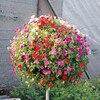 Garden Petunia A3