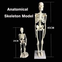 Human Anatomical Anatomy Skeleton Model Medical Learn Science Medicine Teaching Equipment Skull Model 45CM/20CM