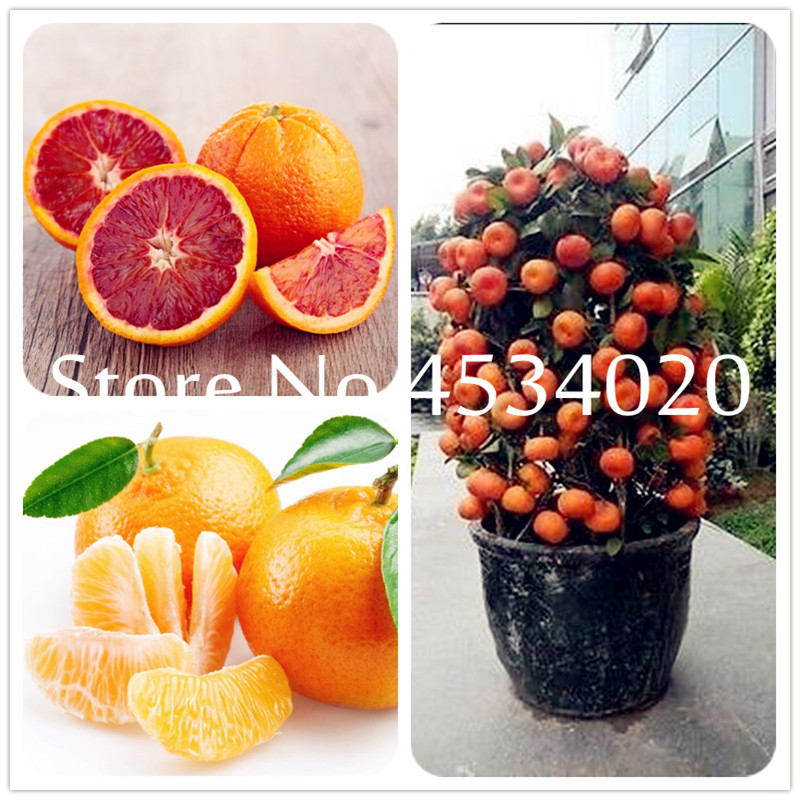 Hot Sale! 50pcs Citrus Plant Bonsais Mandarin Orange Bonsai Edible Fruit Bonsai Tree Plant Healthy Food Home Garden Easy To Grow