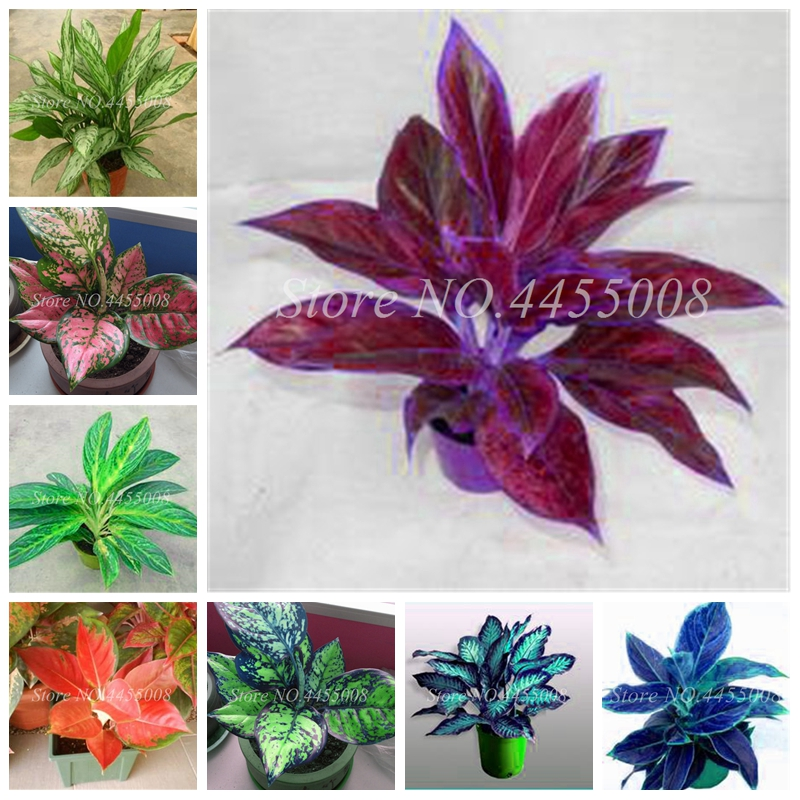 200 Pcs Colorful Aglaonema 'Pink Dud' Beautiful Outdoor Mosaic Plants Rare Potted Plant Flower,Purifying Air Flower For Sale