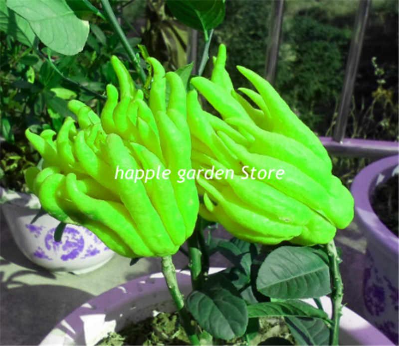 20 Buah Bonsai Citrus Medica Sarcodactylis Langka Lima Jari Orange Bonsai Tanaman Abadi Indoor Orange Pohon Buah Pot Tanaman