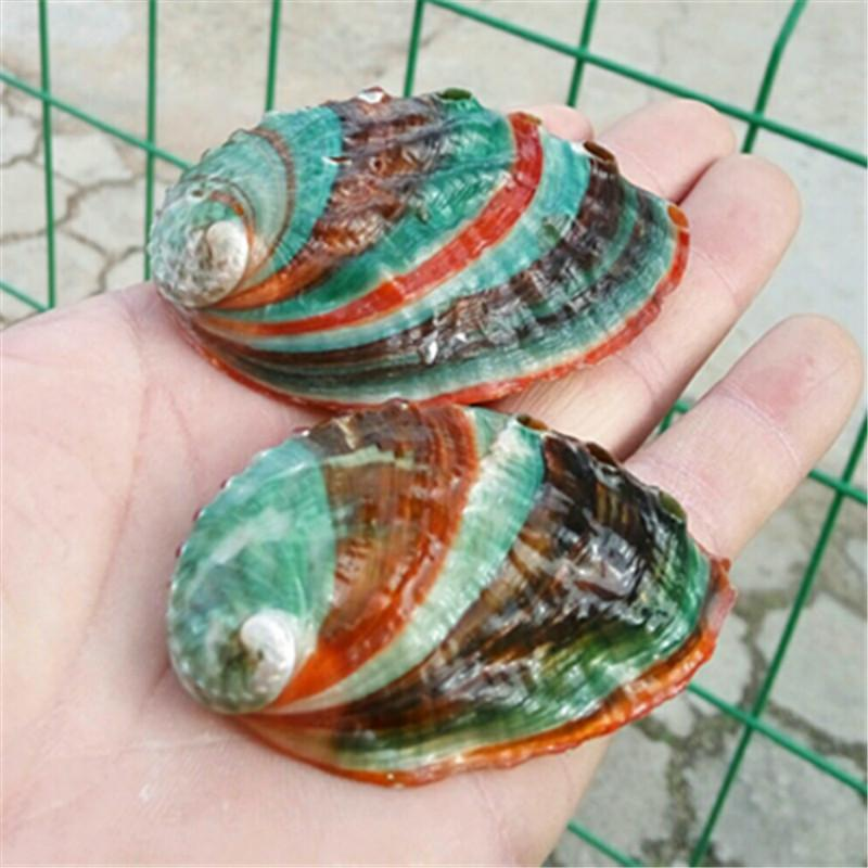 Colorful Natural Conch Shells  Abalone Abalone Seashells Abalone Seashells