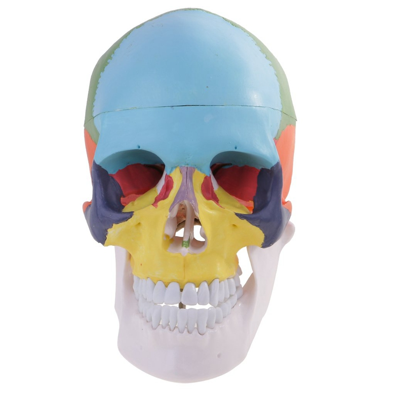 Model, Life Size Replica Medical Anatomy Anatomical Adult Model with Removable Skull Cap and Articulated Mandible,