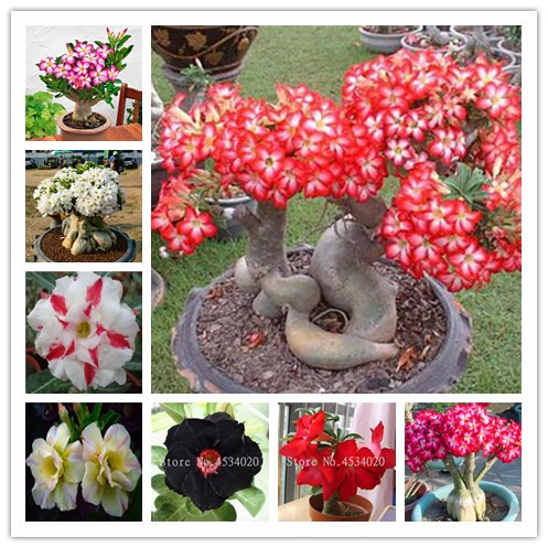 Desert Rose Bonsai Potted Flowers Bonsai Adenium Obesum Indoor Bonsai Plant Mini Potted Tree For Home Garden Plant 2 Pcs