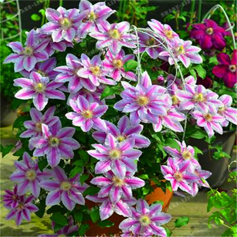 Plant Flower Bath Salts Fragrant Clematis Essence 100Pcs XZZ-305