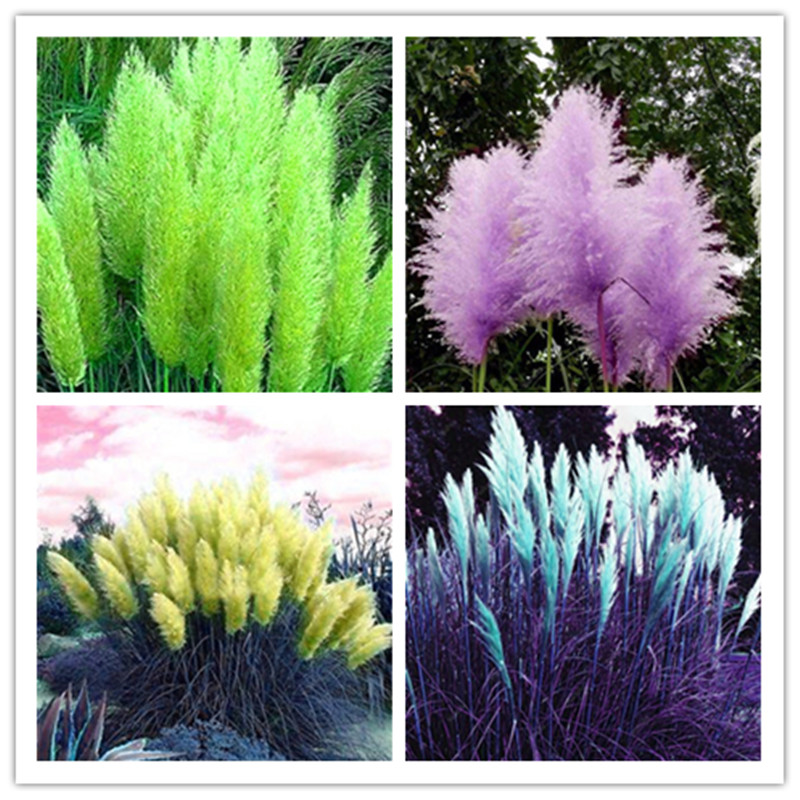 Plant Bath Salts Pampas Grass Essence 100Pcs AN-ZZ05-100