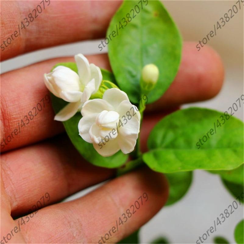 20 Pcs/Jasmine