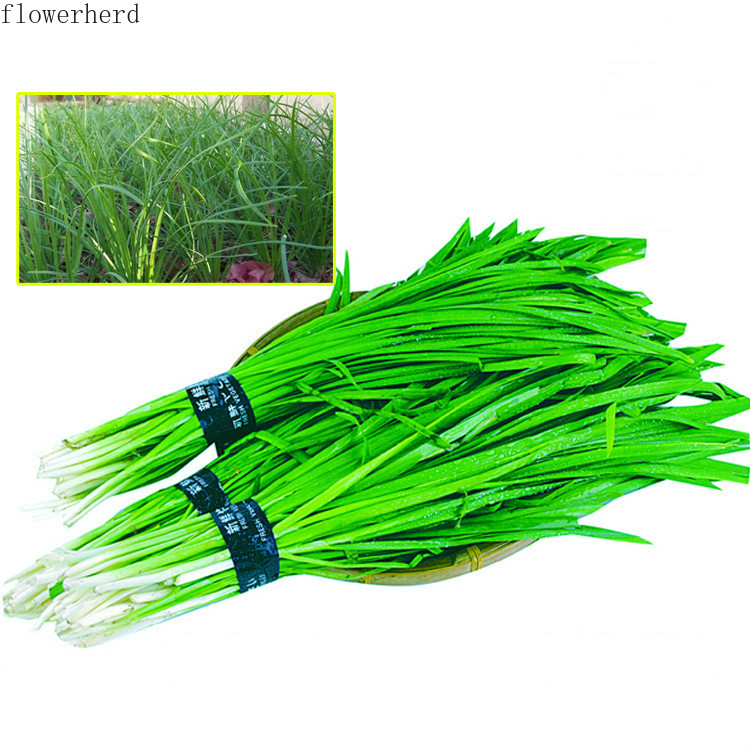 900pcs Small Fine Leaf Leek Seed Farmhouse Variety Leek Root Seedling Family Balcony Spring Four Seasons Sowing Vegetable Seed