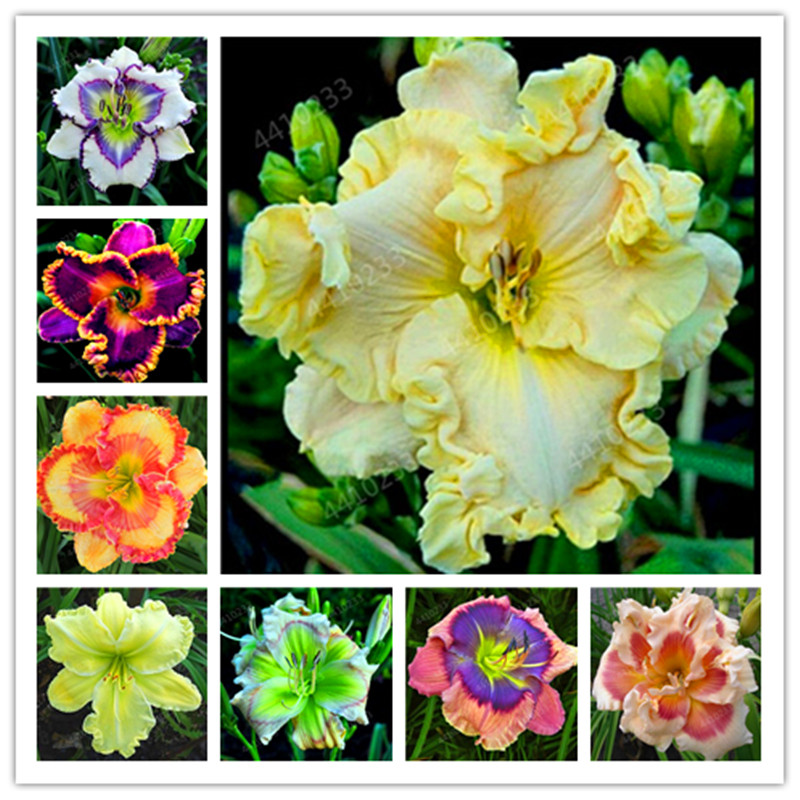Lowest Price! 120 Pcs Hybrid Daylily Flowers Bonsai Hemerocallis Lily Indoor Bonsai Home Garden Supplies Decor Cheap Plant