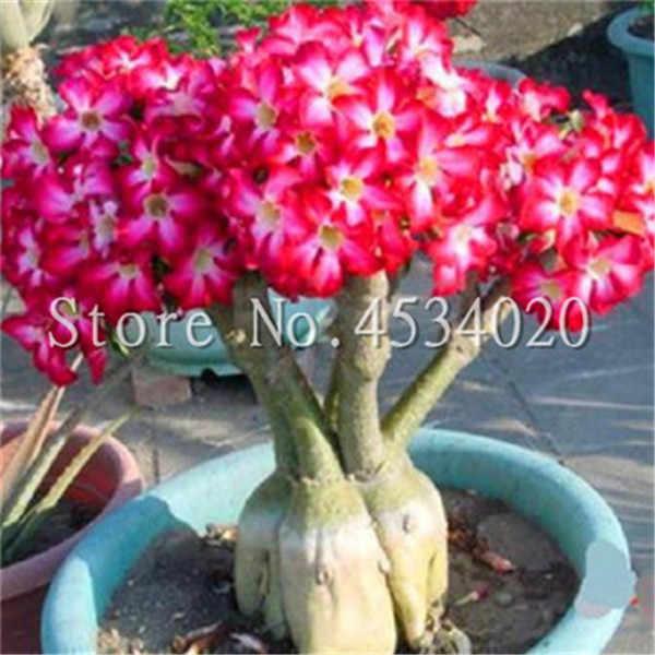 100% Vero Desert Rose Bonsai Piante Ornamentali Balcone Bonsai Vaso di Fiori Drawf Adenium Obesum Bonsai-1 Particelle/lot