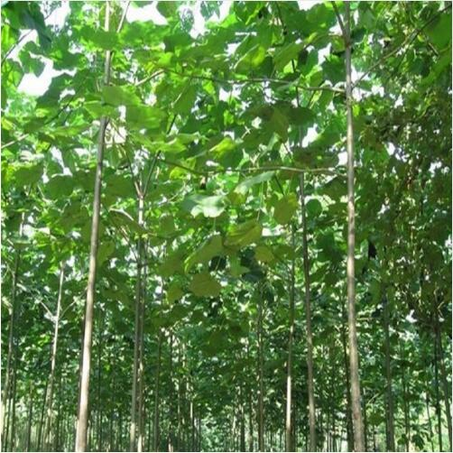 500pcs paulownia elongata New forest , fast growing - - DIY home garden title=