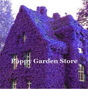 New ! 100 Pieces/Bag Rare Dark Red Blue Boston Ivy Bonsai,Mix Climbing Ivy Plantas For Diy Home & Garden Outdoor Plants Flores