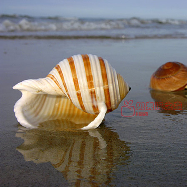 Natural Shell Sea Conch Snail Fish Tank Aquarium Decorations Roll Shellfish Breeding Shell Micro-landscape Succulent Flower Pot