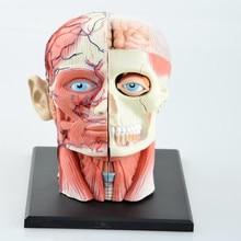 Laboratório dental dentista 4d anatomia cabeça humana crânio médico modelo esqueleto sempre depois altas bonecas