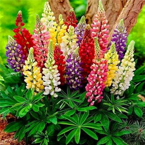 50pcs  Rare Crimson Lupin Bonsai Double Petals Flowers Plants Potted Ornamental Balcony Home Garden Bonsais