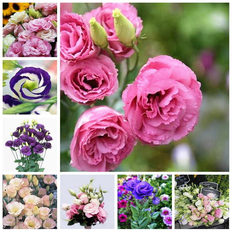 100 PCS Exotic Eustoma Planta Perennial Flowering Plants Balcony Potted Flowers Bonsai Lisianthus For Garden Flower Pot Planters