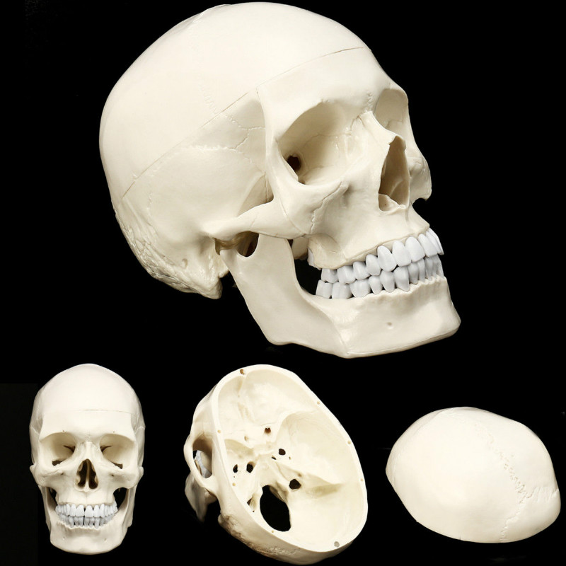 Skull Model Of Human Head Anatomical Model Medicine Skull Human Anatomical Anatomy Head Studying Anatomy Teaching Supplies