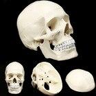 Skull Model of Human...