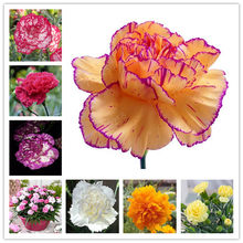 100 Pcs Carnation Bonsai Dianthus Caryophyllus Flowers Bonsai Semillas Potted Rare Mother Love Flower For Flower Pot Plants(China)