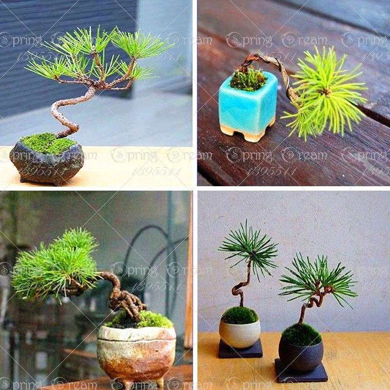 50pcs/Bag Japanese Mini Black Pine Tree Bonsai Courtyard Garden Bonsai Tree Plants Pine Tree Potted Plant DIY Home Garden