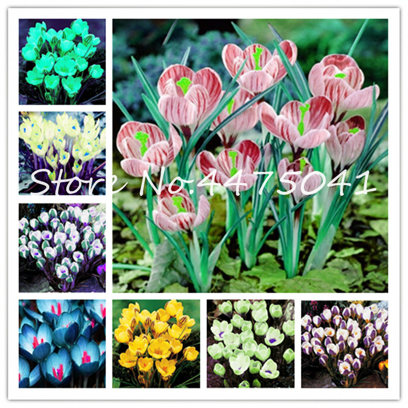 100 Pcs/Bag Colorful Saffron Bonsai Plants ,Not Bulbs Outdoor Bonsai Flower Iran Crocus Potted Plant For Home Garden Herb Semill