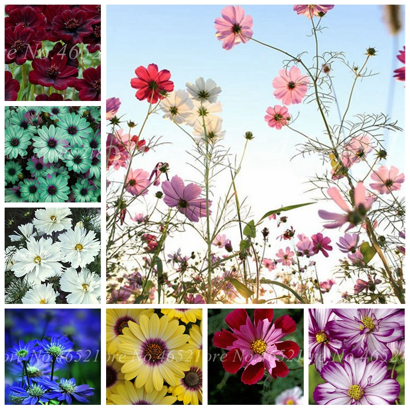 Hot 100 Pcs Chocolate Cosmos Bonsai Flower Blooms All Summer Long And Has Rich Scent Like Chocolate Diy Home Garden Flower
