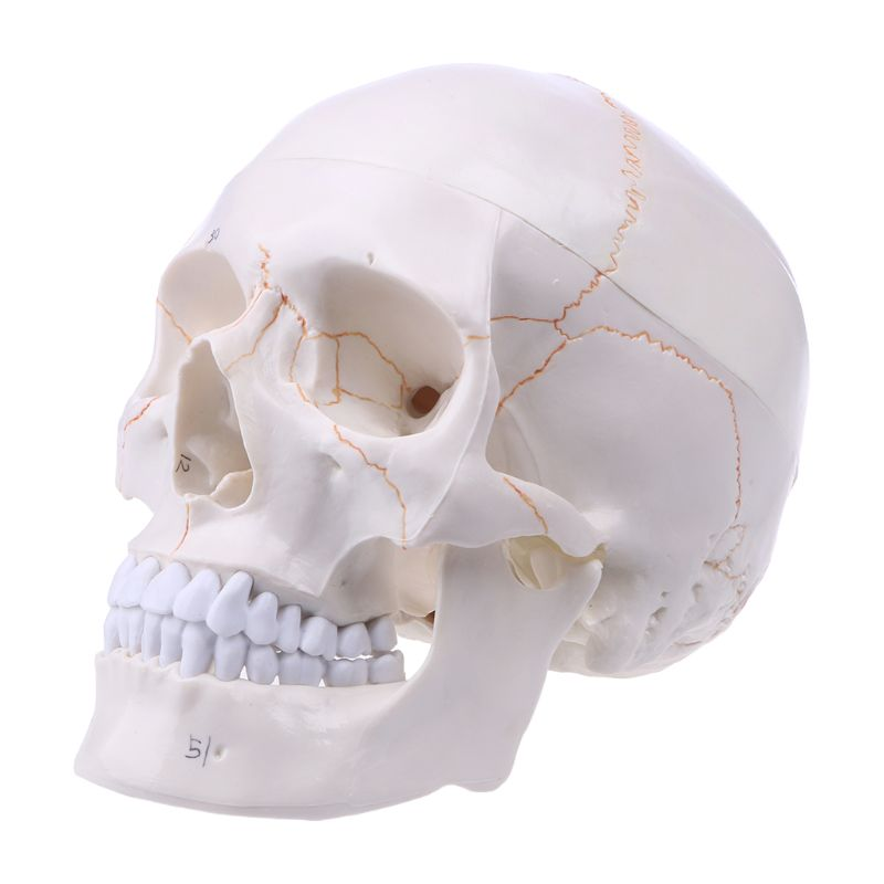 Life Size Human Skull Model Anatomical Anatomy Medical Teaching Skeleton Head Studying Teaching Supplies